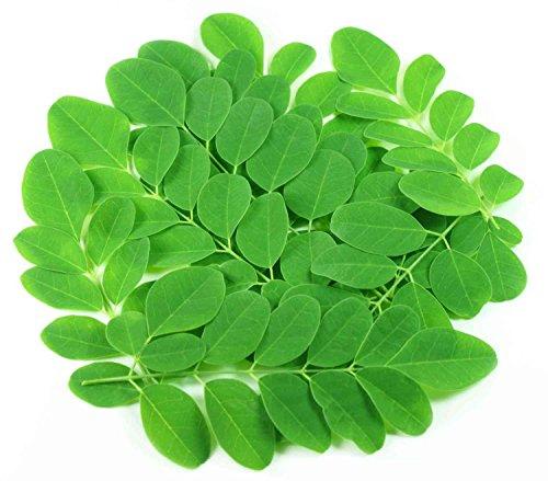 Asklepios-seeds® - 50 Moringa Oleifera Samen Meerrettichbaum, sehr schnellwachsend